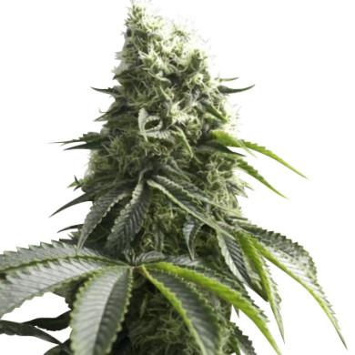 K2-seeds6-390x390