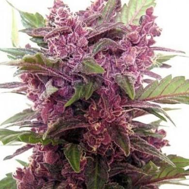 purple-haze-seeds5-390x390