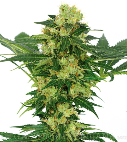 White_20Widow_20_28regular_29-1_large