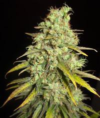 Marijuana Booster: A Miracle in Marijuana Cultivation